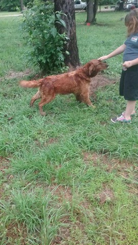 Golden Retriever puppies in Russellville, Pope County
